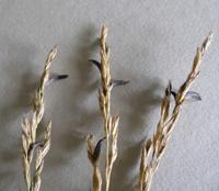 Przetrwalniki Claviceps purpurea w kwiatostanie kostrzewy trzcinowej