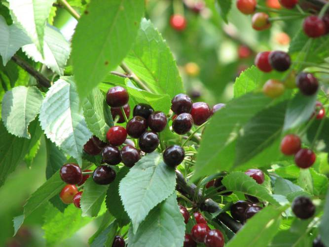 Owoce czereśni