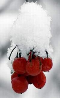 Róże należy przygotować do przezimowania