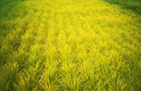 Rdza żółta
