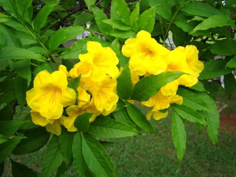 Żółty milin